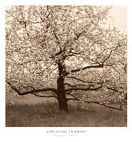 Apple Tree in Bloom Fine Art Print