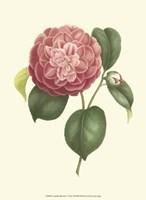 Camellia Blooms I Fine Art Print