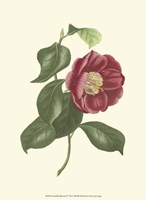 Camellia Blooms II Fine Art Print