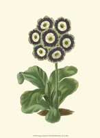 Antique Primula II Fine Art Print