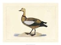 Duck V Fine Art Print