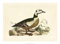 Duck VI Fine Art Print