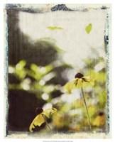 Blackeyed Susans III Fine Art Print