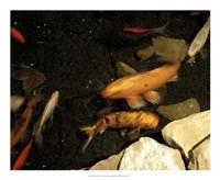 Goldfish Pond I Fine Art Print