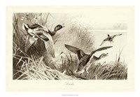 Ducks Fine Art Print