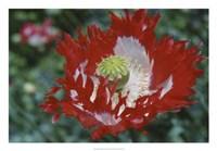 Raglin Red Poppy Fine Art Print