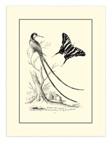 B&W Long. Tailed Hummingbird (1742) Fine Art Print