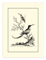 B&W Grt. & Less. Hummingbird (1742) Fine Art Print