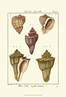 Pyrule Shells, Pl. 434 Fine Art Print