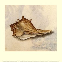 Conch Shell Fine Art Print