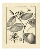 Vintage Botanical Study III Fine Art Print