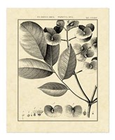 Vintage Botanical Study V Fine Art Print