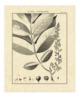 Vintage Botanical Study VI Fine Art Print