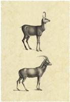 Vintage Antelope Framed Print