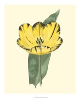 Antique Tulip II Fine Art Print
