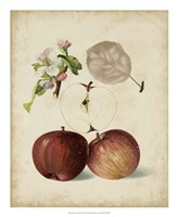 Harvest Apples I Fine Art Print