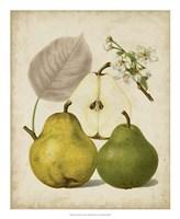 Harvest Pears I Fine Art Print