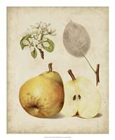 Harvest Pears II Fine Art Print