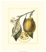 French Lemon Study II Framed Print