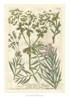 Weinmann's Garden III Fine Art Print