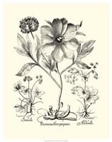 Black and White Besler Peony II Fine Art Print