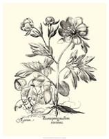 Black and White Besler Peony III Fine Art Print