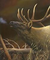 Elk Portrait I Fine Art Print