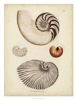 Antique Nautilus II Fine Art Print