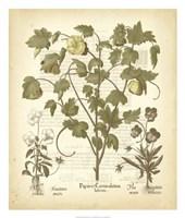 Tinted Besler Botanical IV Fine Art Print