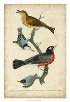 Wilson's Wood Thrush Fine Art Print