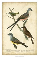 Wilson's Flycatcher Fine Art Print