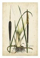 Antique Cattail I Fine Art Print