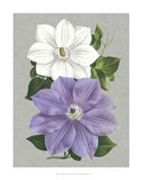 Clematis Blooms I Fine Art Print