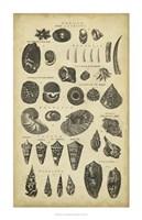 Study of Shells II Fine Art Print