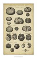 Study of Shells III Fine Art Print