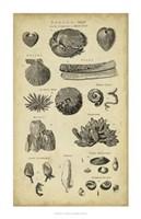 Study of Shells IV Fine Art Print