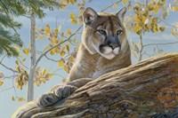 Front Range Cougar Fine Art Print