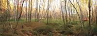 Birch Forest Panorama Fine Art Print