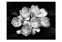 Camellia Bloom Fine Art Print