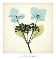 Hydrangea Stem I Fine Art Print