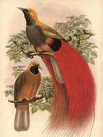 Scarlet Bird of Paradise Framed Print
