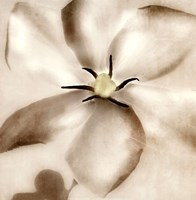 Whisper of Gardenia Framed Print