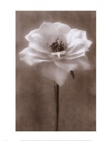 Antique Rose White Fine Art Print