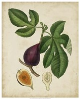 Non-Embellished Antique Fig Tree Fine Art Print