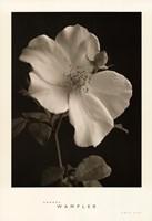 Rose Bud Fine Art Print