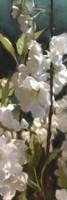 White Roses V Fine Art Print