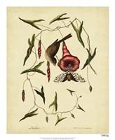 Little Sparrow, Pl. T35 Fine Art Print