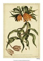 Corona Imperalis, Pl. CV Fine Art Print