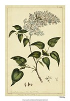 Lilac, Pl. CLXIII Fine Art Print