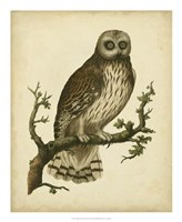 Antique Nozeman Owl II Fine Art Print